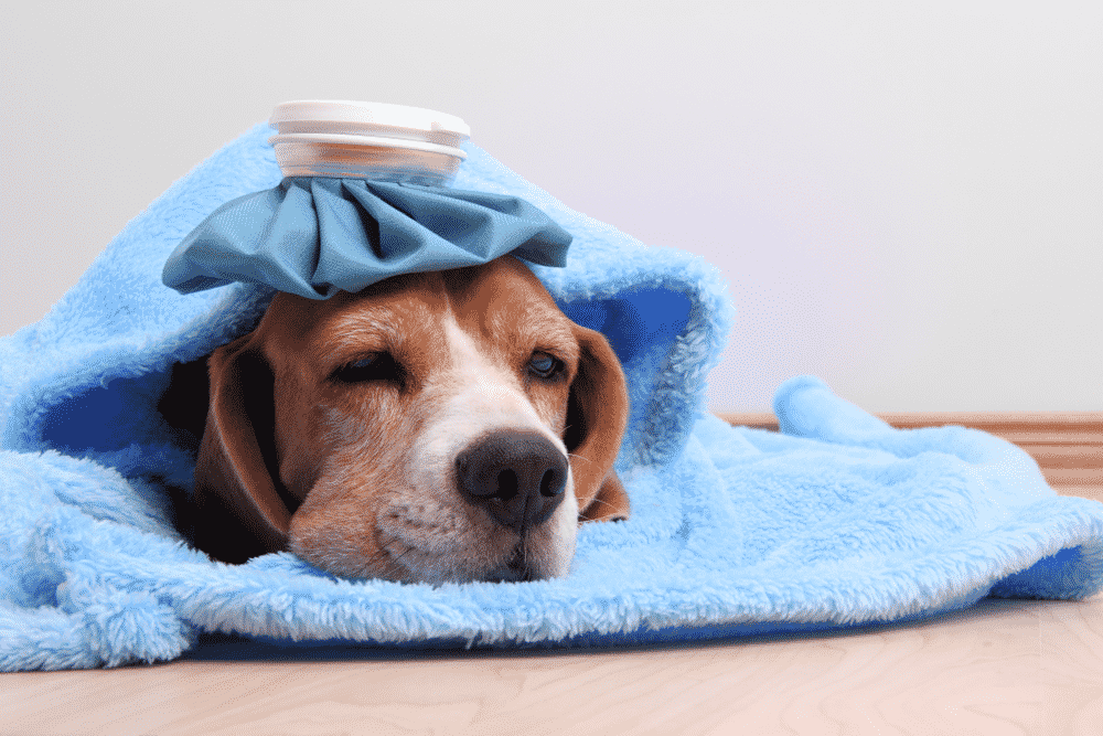 How To Tell If Your Dog Has A Fever? Normal Dog Temperature?