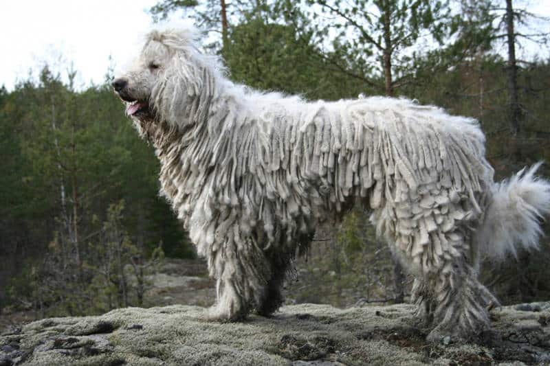 Komondor_dog