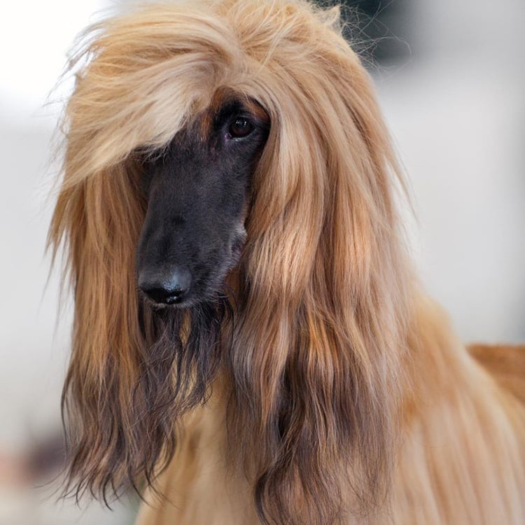 dogs with long ears - Afghan Hound