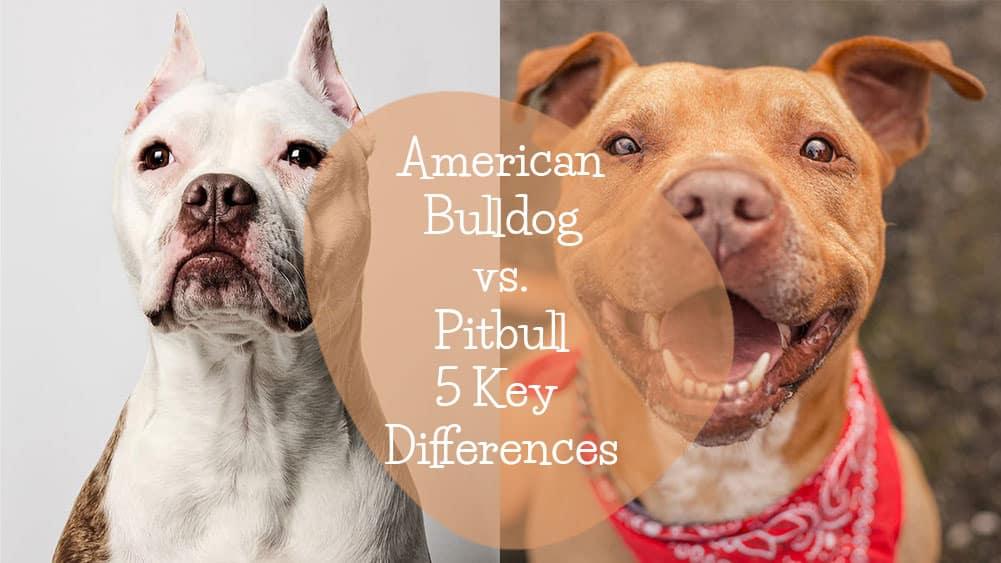 American-Bulldog-Vs-Pitbull-Differences---Feature