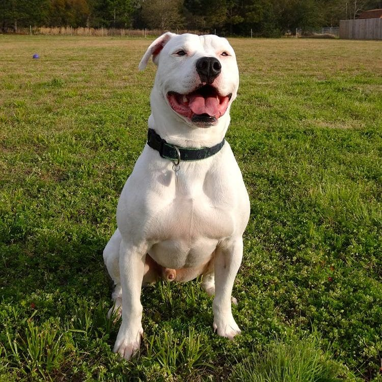 dogs that look like pit bulls but arent - american bulldog