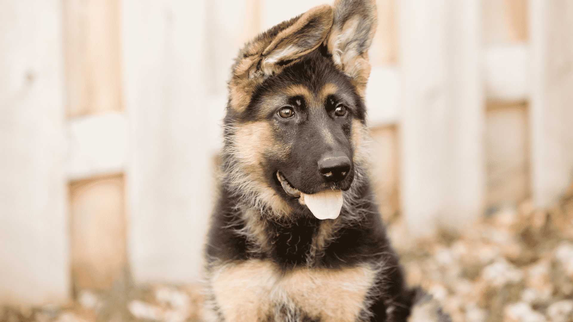 Why Are German Shepherds So Expensive?