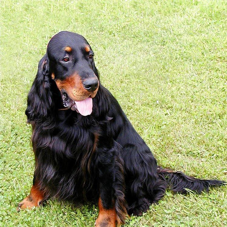 dogs with long ears - Gordon Setter
