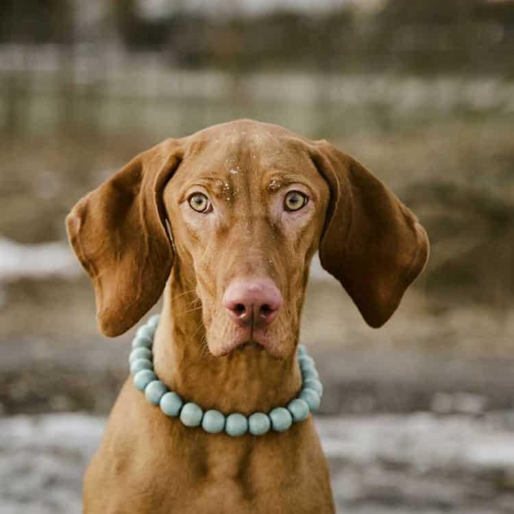 dogs with long ears - Hungarian Vizsla