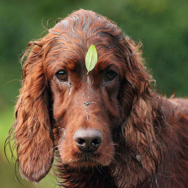 dogs with long ears - Irish Setter