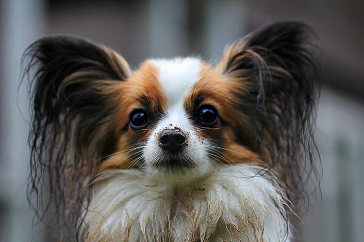 dogs with long ears that are not dropped - papillon