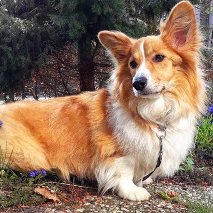dogs with long ears - Pembroke Welsh Corgi