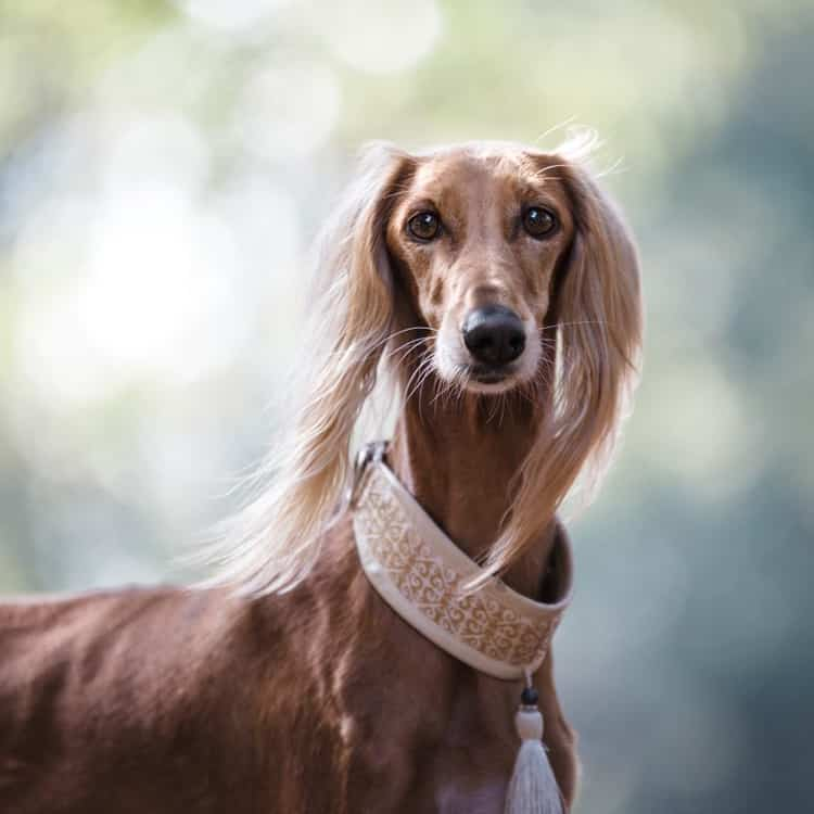 dogs with long ears - Saluki