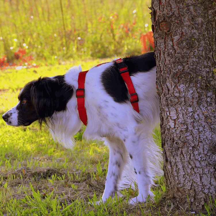How-Long-Can-A-Dog-Go-Without-Peeing?