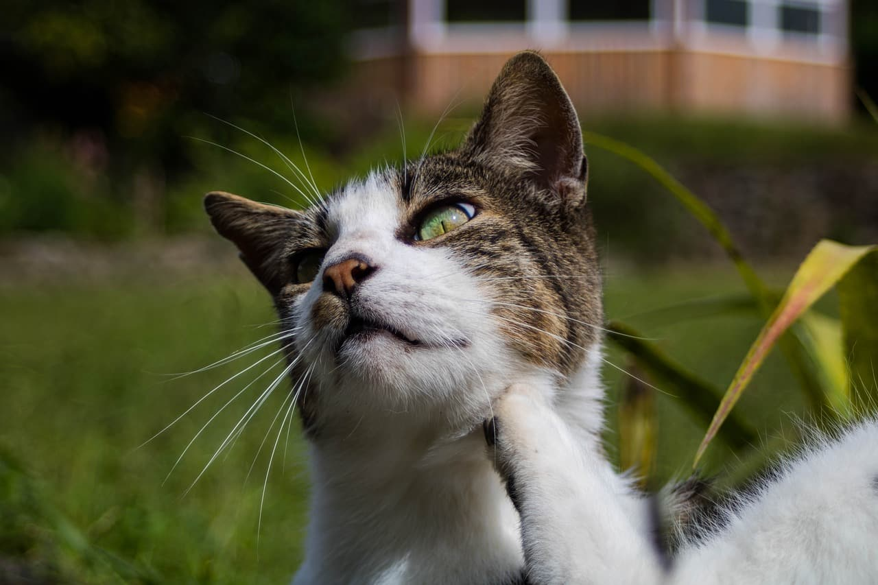 allergic reaction on cats skin