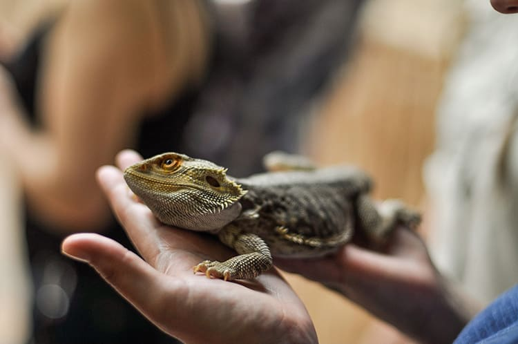 best-reptile-pets-for-handling-2