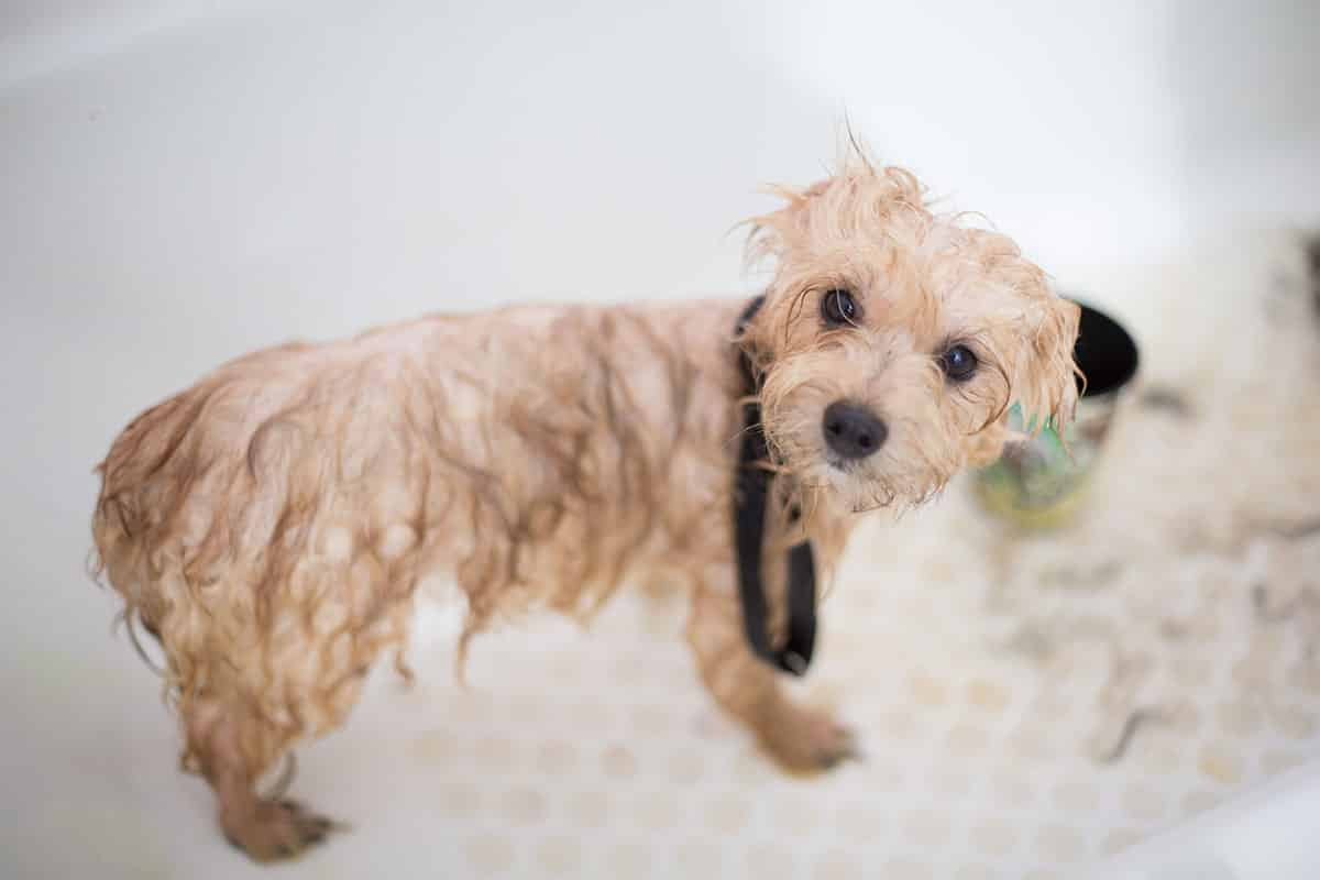 repeating the mite removal treatment schedule - clean your dog
