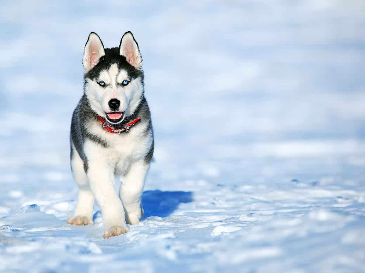 cute husky pup on snow