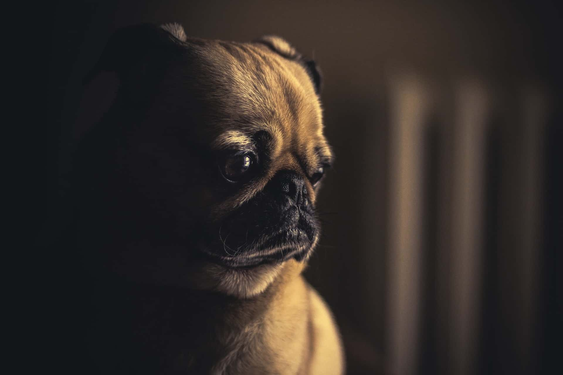 a pug looking confused