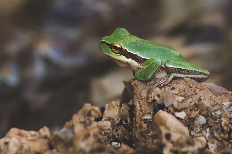 green-mantella