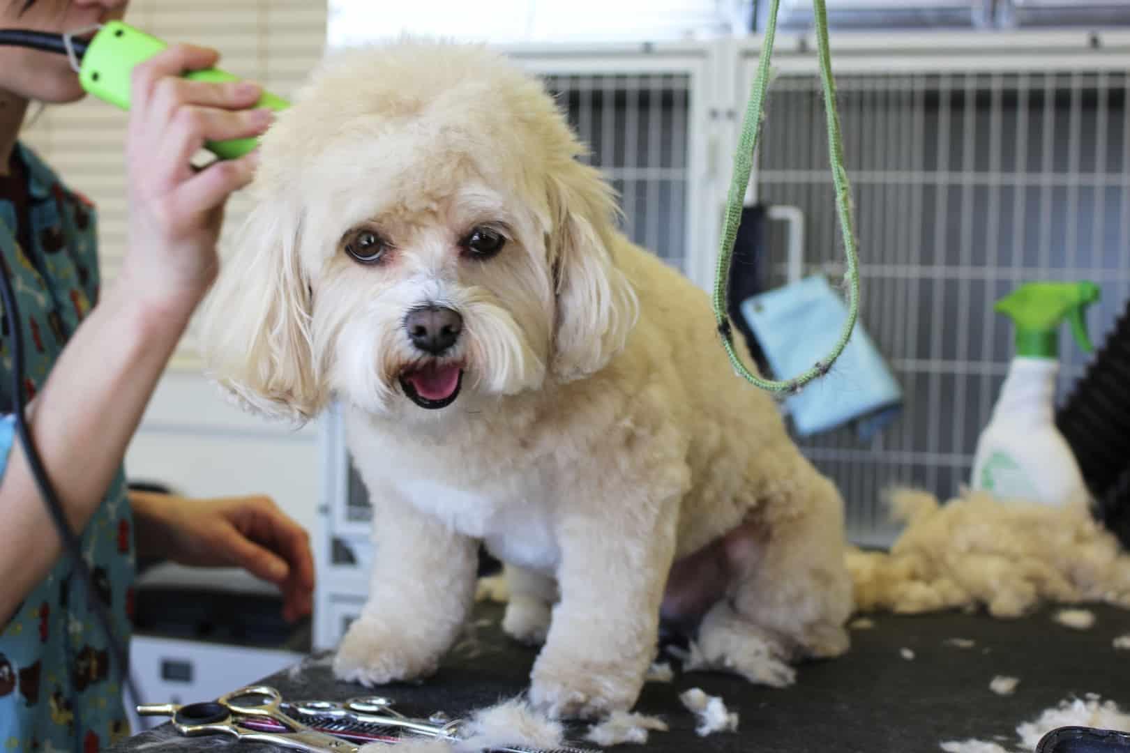 dog at the grooming salon