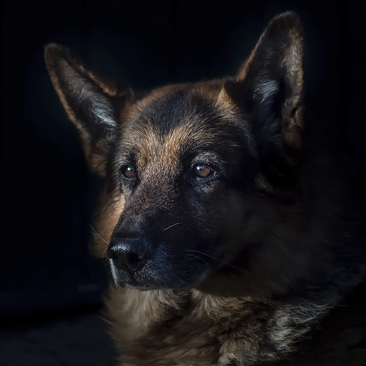 how much does a german shepherd cost