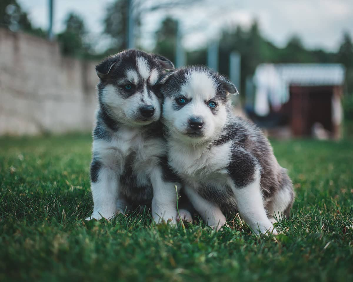 best dog food for huskies - husky babies