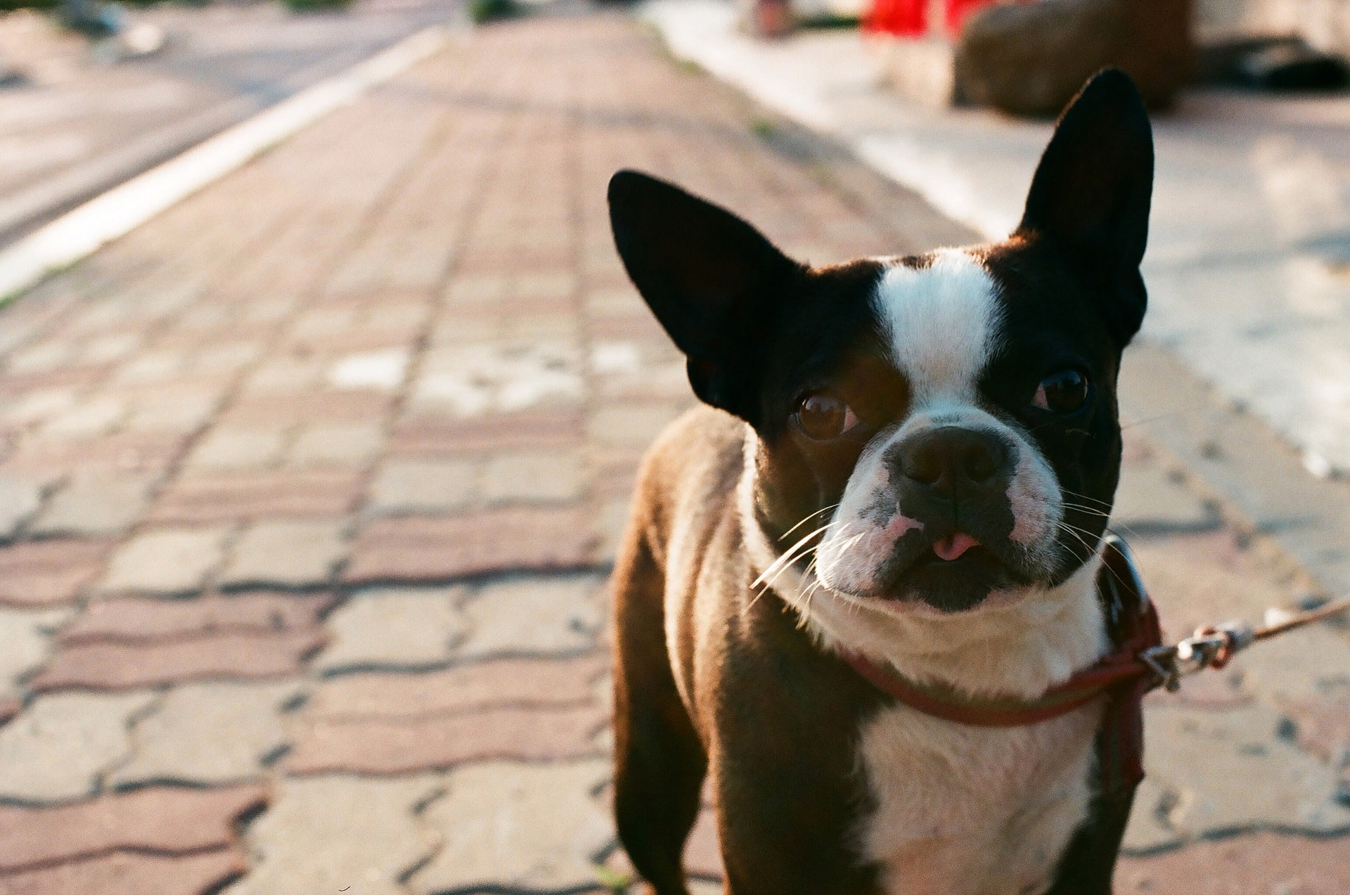 signs of dog flea allergy and its diagnosis