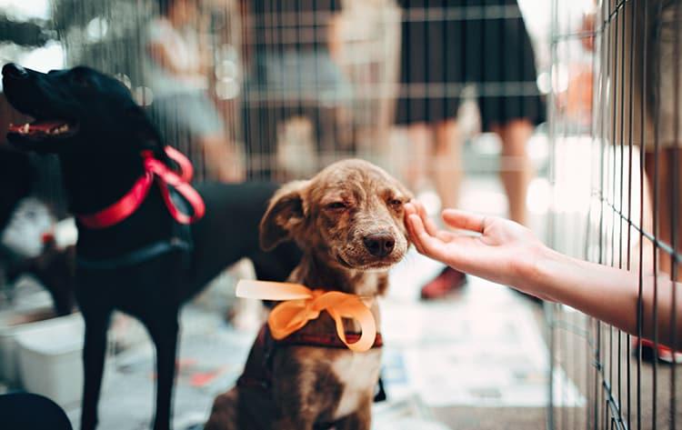 pet-adoption-league