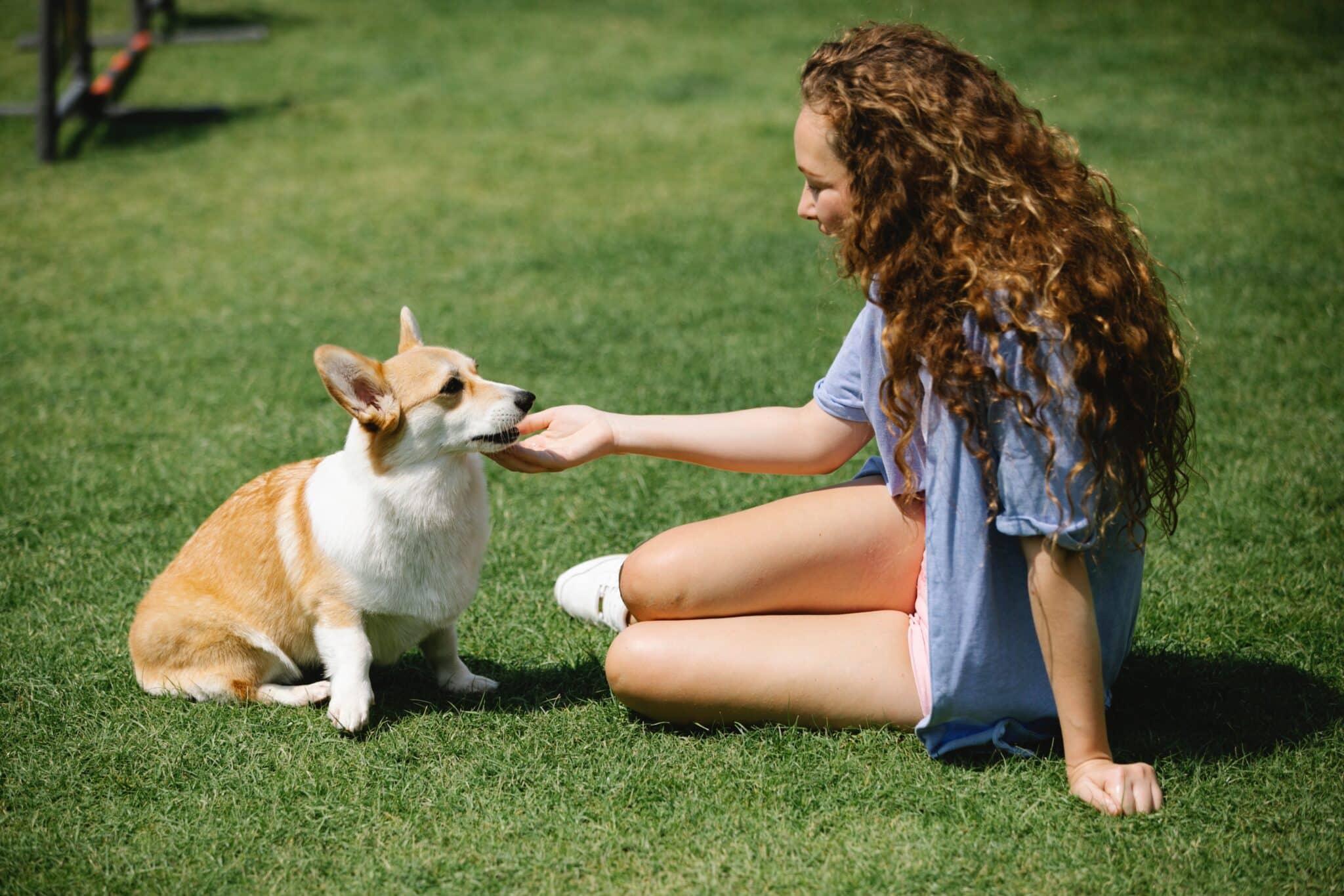 petting a young corgi dog