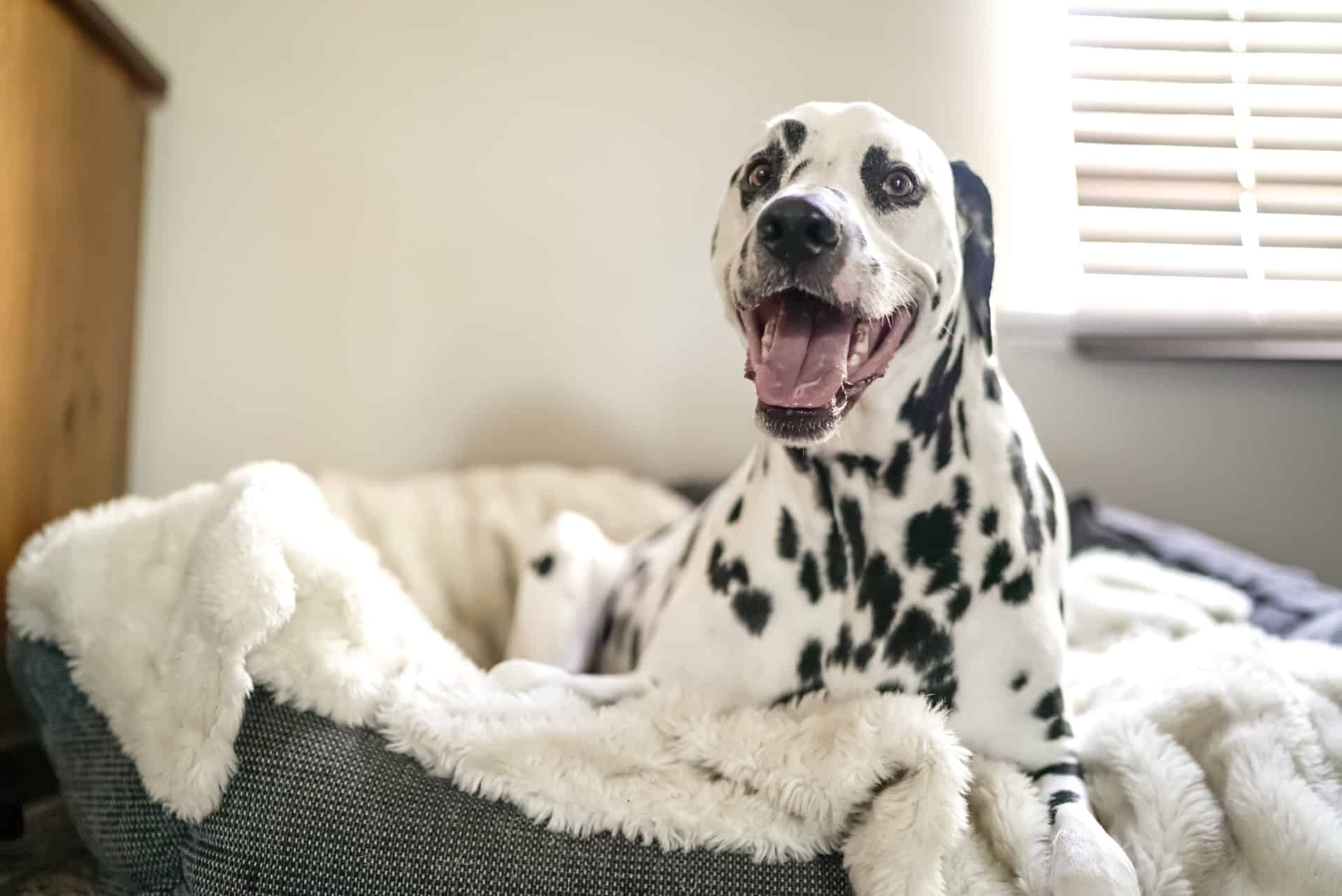 a dalmatian in its dog bed