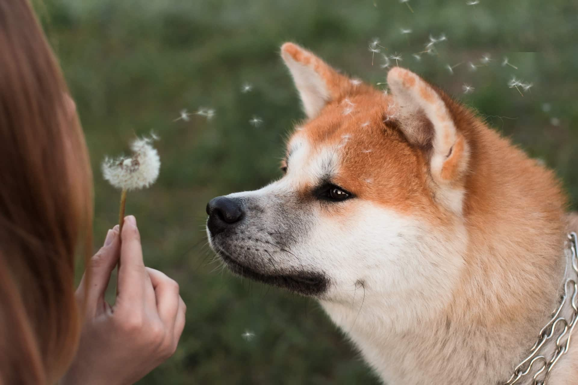 an owner blowing a dandelion towards her dog