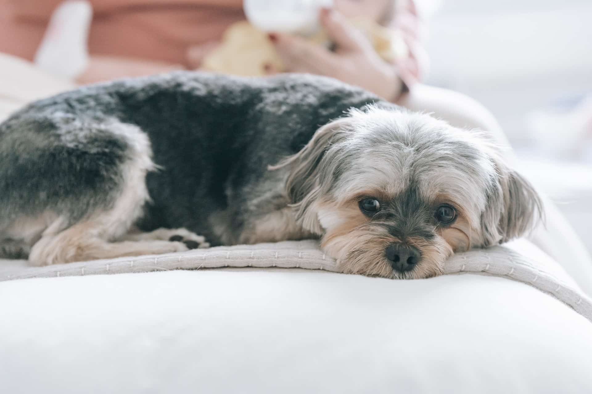 a close up dog laying on a blanket