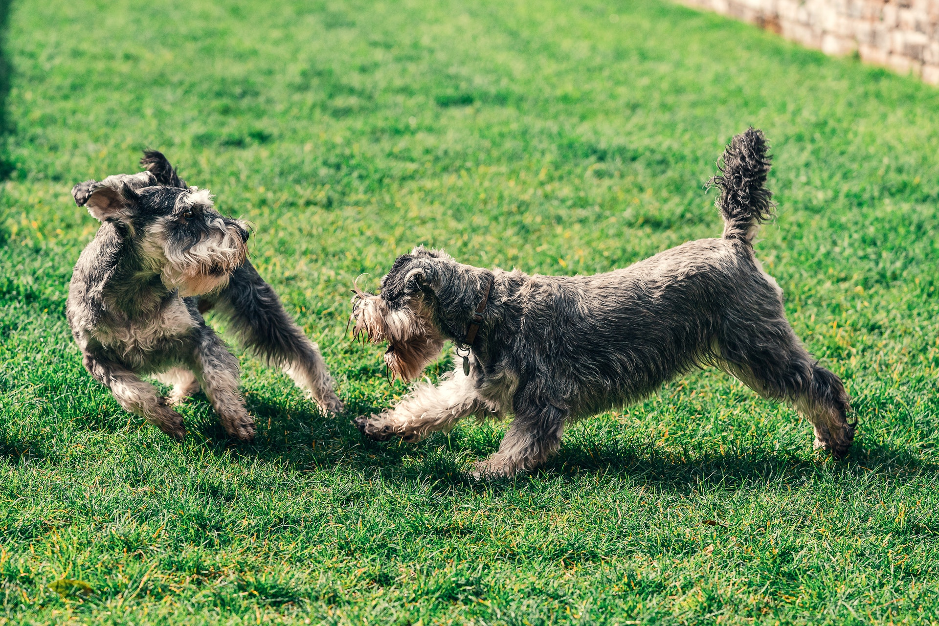 two schnauzers playing on the grass
