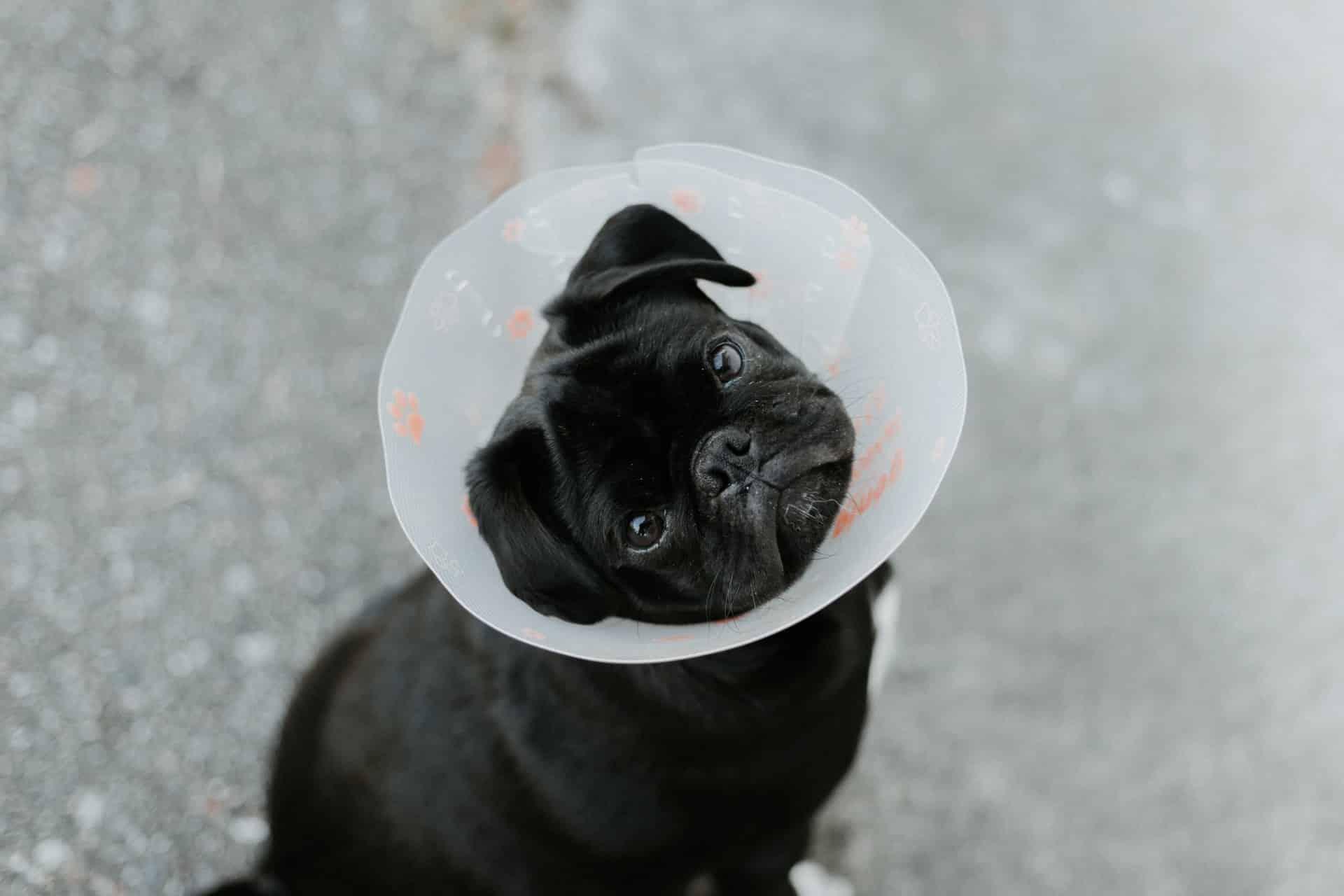 pets face swollen - conclusion