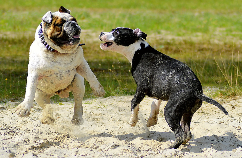 American Bulldog vs. Pit Bull - History & Origin