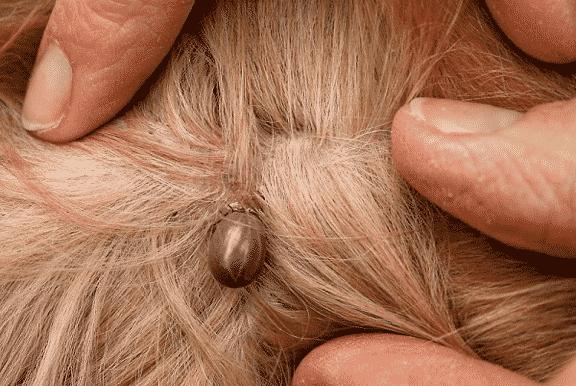 tick allergy in dogs - the basics